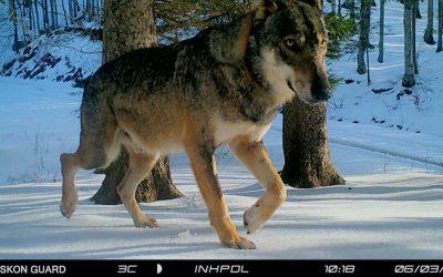 Storie di lupi: la sostituzione di Codino