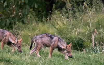 La guerra al lupo: Una questione di comunicazione
