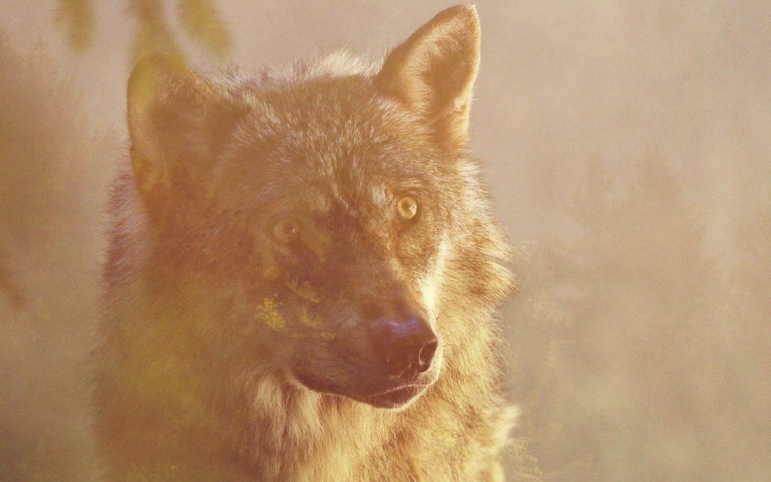 Il viaggio del lupo
