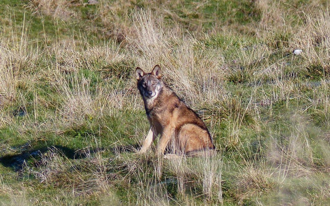 """Predazioni in discesa e bracconaggio: Il punto di vista di """"Io non ho paura del lupo"""" sulla Lessinia"""