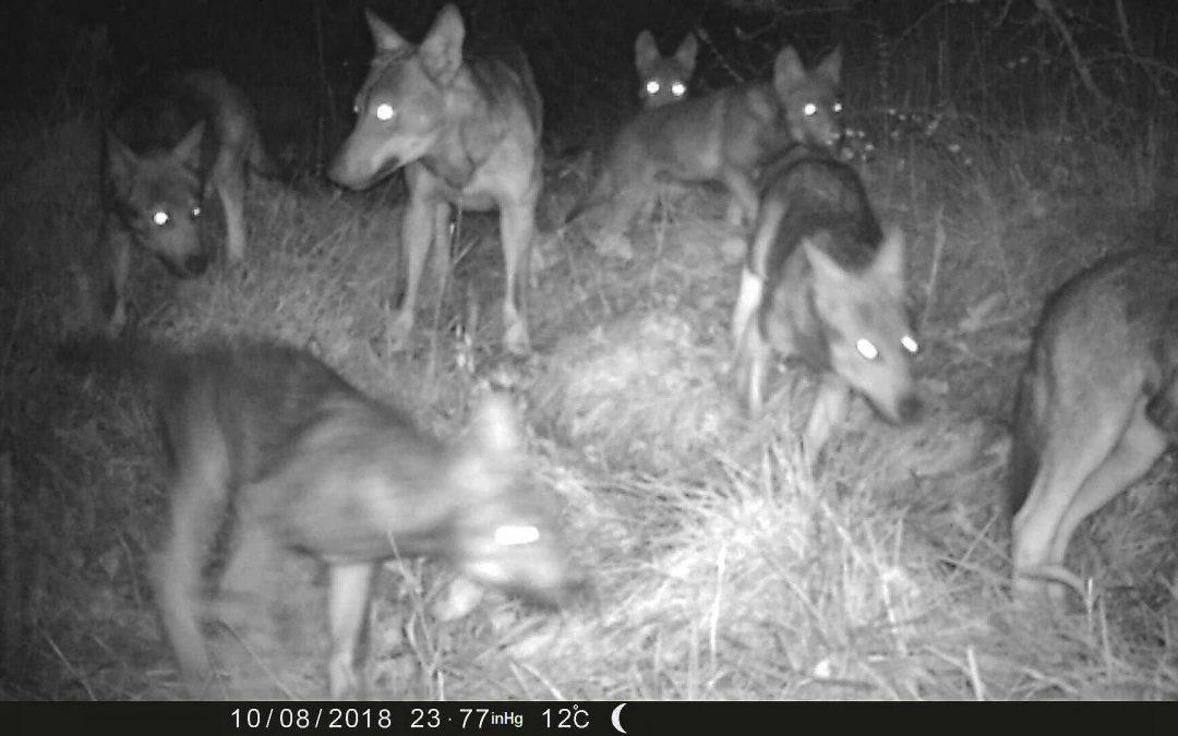 La presenza del lupo sull'altopiano di Asiago, la convivenza è possibile.