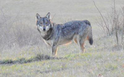 I lupi della valle: Antonio e LaPina – Il branco della Riserva