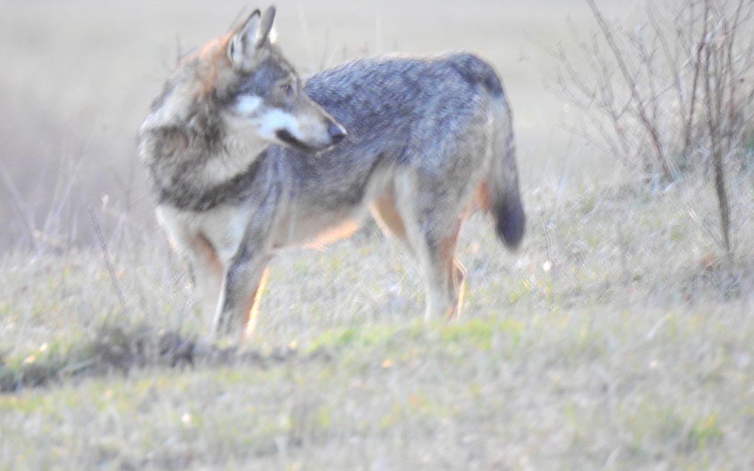 """Il testo integrale de """"Il Piano di conservazione e gestione lupo in Italia – Marzo 2019"""""""