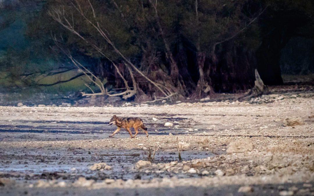 In Italia e in Europa i lupi non sono mai stati reintrodotti
