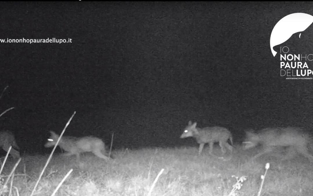 Daini in fuga: spettacolare inseguimento di un branco di lupi