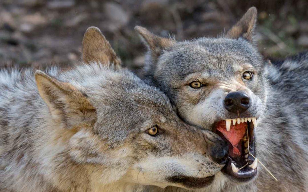 """E' vero che gli """"ibridi"""" sono più pericolosi dei lupi """"puri"""" ?"""