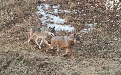 Educational excursion: The Wolf on the Alps and Eastern Prealps
