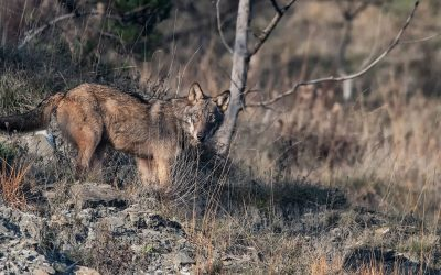 Educational excursion: The Wolf in the Apennines