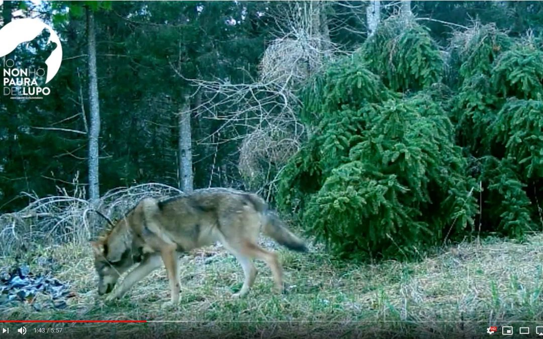 """""""Raccoltone"""" lupi – Videotrappolaggio Appennino e Alpi 2019"""