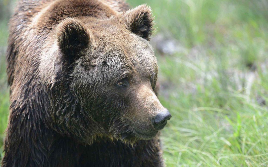 Selvatici, ma non troppo? 5 proposte per l'orso sulle Alpi