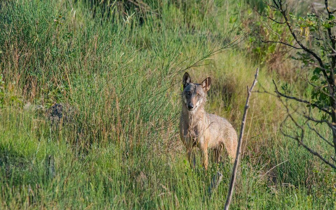 The pack of the Reserve: Didactic Camp on the wolf in the Apennines