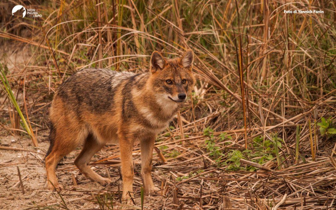 Golden jackal, let's get to know him closely