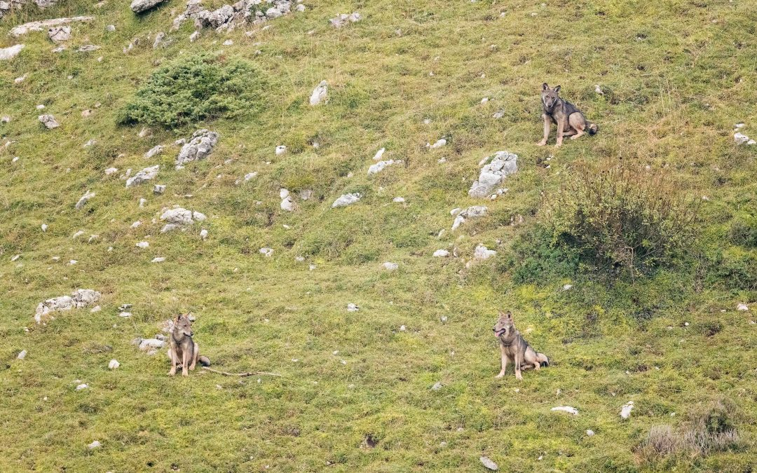 Approfondimento sulla presenza del lupo in Lessinia – 2020