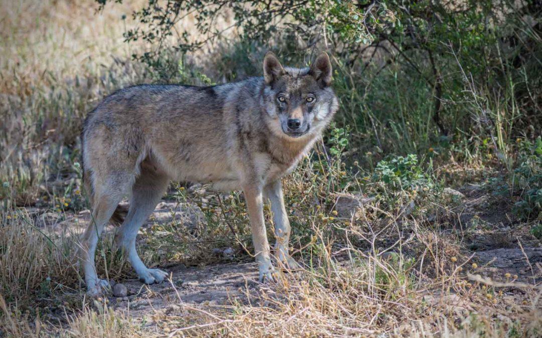 Non è vero che in Germania gli allevatori possono abbattere i lupi.